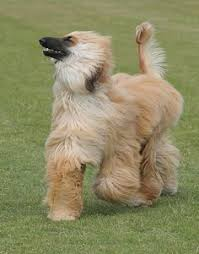 afghan hound apartment afghan hound afghan hounds pinterest afghan hound afghans