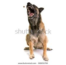 belgian sheepdog guard dog guard dog stock images royalty free images u0026 vectors shutterstock