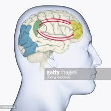 Right Side Human Anatomy Digital Illustration Of Showing Right Side Human Brain Stock