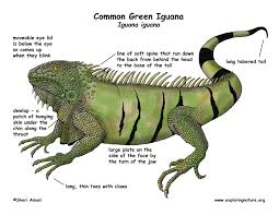 iguana common green
