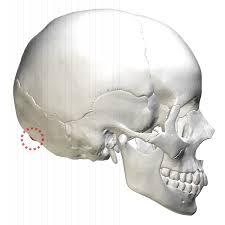Base Of The Skull Anatomy External Occipital Protuberance Wikipedia
