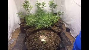 indoor no till cannabis garden beginning companion planting