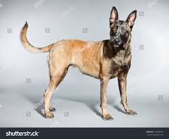 belgian malinois dog belgian malinois belgian shepherd dog studio stock photo 115036756