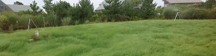 ornamental grass seed american
