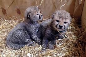 twin baby cheetahs born in swedish zoo mental floss
