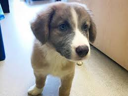 4 week old australian shepherd this adorable great pyrenees australian shepherd mix in nashville