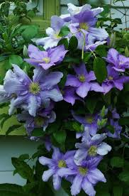 76 best clematis images on pinterest flowers plants and flower