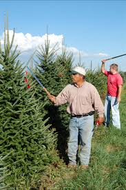 a trimming lesson christmas trees hart t tree farms blog