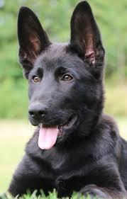 belgian shepherd ear problems nando vom kraftwerk u2013 obedience level 2 trained german shepherd