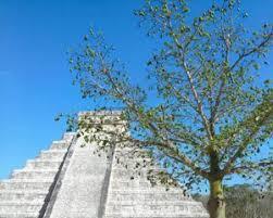 ceiba tree kapok or ceiba pentandra species ceiba tree facts