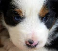 australian shepherd eye diseases our thoughts and beliefs