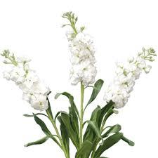 white flower stock white flower farm fresh exports