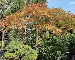 acers japanese acers japanese maple trees for sale uk