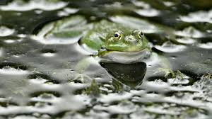 some frogs change colors in an attempt to avoid confusion during