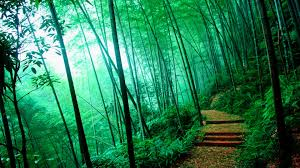 bamboo forest hd wallpapers hd images