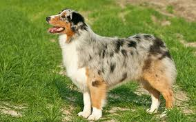 buy a australian shepherd australian shepherd puppies breed information u0026 puppies for sale