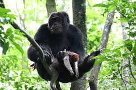primates in communities the ecology of competitive predatory