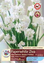 paperwhite flowers pretty paperwhite flowers florissa flowers roses fruits more