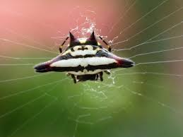 my fascinating backyard spiny backed orb weaver spider spider