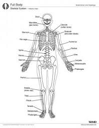 Webmd Human Anatomy Skeletal System Anatomy In Adults Overview Gross Anatomy