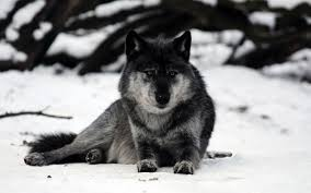 hd grey wolf resting in the wallpaper free 147088