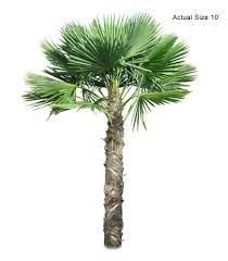 windmill palm tree trachycarpus fortunei large the ornamental