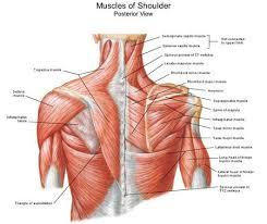 muscles of shoulder shoulder anatomy and misc