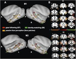disparate substrates for head gaze following and face perception