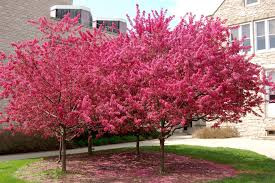 stunning flowering crabapple tree margarite gardens