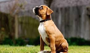 boxer dog 2015 boxer puppies rescue pictures information temperament