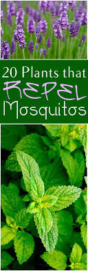 mosquito plants 20 plants that repel mosquitos bless my weeds
