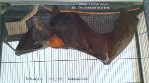 rescue megabat black male flying fox fruit bat 15 02 2015