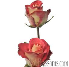 bulk roses friendship bicolor roses in bulk at wholesale price