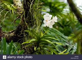Orchid Plant Orchid Plant In Natural Behaviour Habitat Attitude White Flower