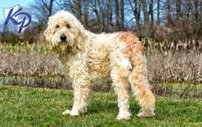 puppies for sale pa goldendoodle puppies for sale health guaranteed keystone puppies