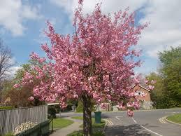 cherry blossom tree by ffdp neko on deviantart