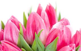 wallpaper bunga tulip pink tulip wallpaper 62 images