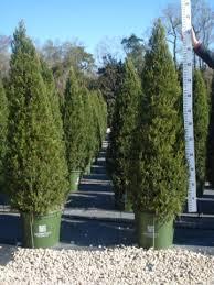 juniper green column hetz column thetreefarm