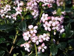 Scented Flowering Shrubs - catch the scent with fragrant flowering shrubs t y nursery