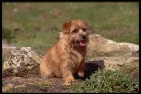 affenpinscher nc affenpinscher puppies and dogs for sale in usa