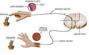 Pain Reflex Pathway Module 1