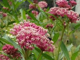 arkansas native plants catskill native plant society asclepias incarnata swamp milkweed