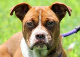 boxer dog rescue view ad boston terrier boxer mix dog for adoption tennessee