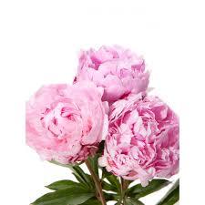 where to buy peonies light pink peonies peonies types of flowers flower muse