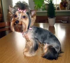 female yorkie haircuts styles females yorkie haircuts pictures for summer