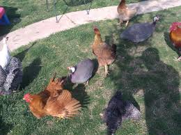 some questions about french guineas backyard chickens