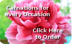 Carnations In Bulk Wholesale Carnations We Service Wholesale Carnations Nationwide