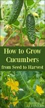 how to grow cucumbers in your garden from seed to harvest