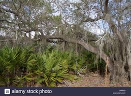 Florida Forest images A dense florida forest ecosystem with trees lichen and other jpg