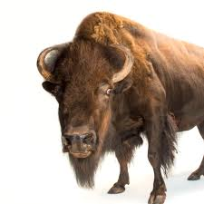 american bison national geographic